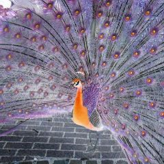 Ann Crisp - Leicester  Proud as a Peacock.  With good mental health i see the world in technicolour, feel brighter and are proud to be me, living with bipolar affective disorder.  I am not defective, mental illness is not a weakness.