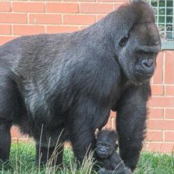 Baby Gorilla.