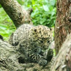 Baby Amur leopard.