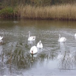 Tranquility: Swans at Stonebow Washlands